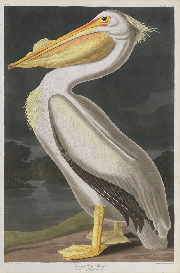 05-the-birds-of-america-plate-311-american-white-pelican