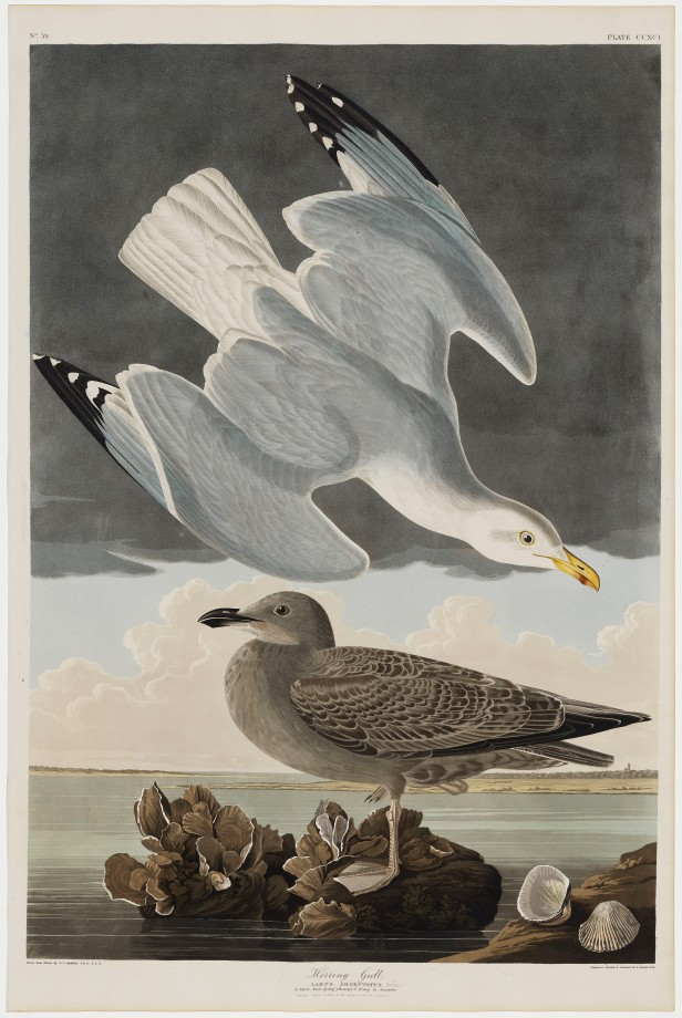 06-the-birds-of-america-plate-291-herring-gull