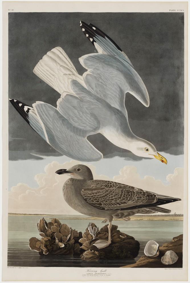 06-the-birds-of-america-plate-291-herring-gull