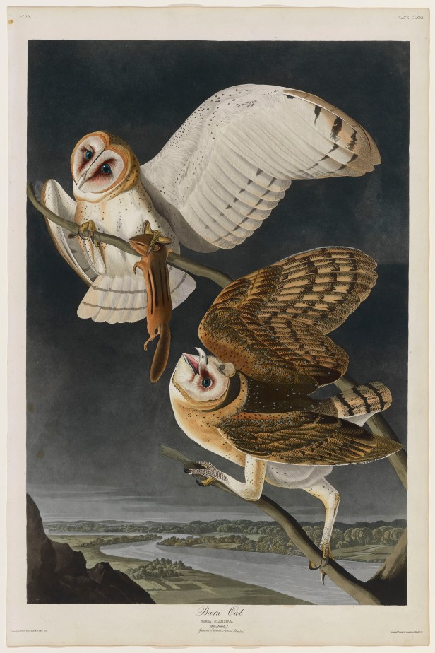 09-the-birds-of-america-plate-171-barn-owl